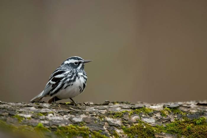 Black-and-white Warbler, USA shutterstock_1497588266.jpg