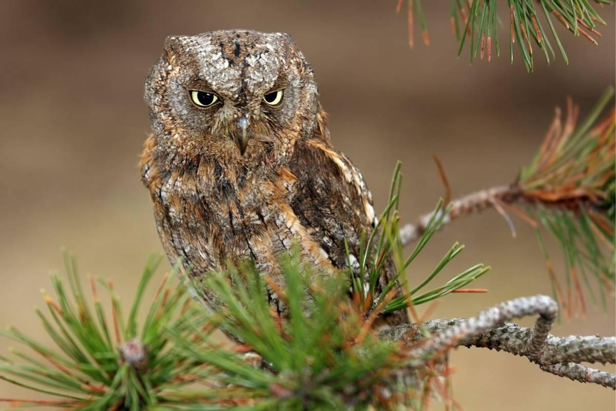 Eurasian Scops Owl, Montenegro shutterstock_403884727.jpg
