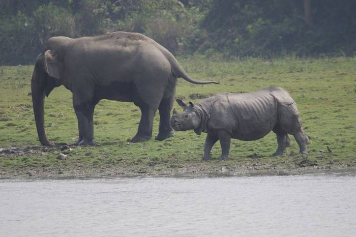 Elepehant and Greater One-horned Rhino (Liz Seeber)
