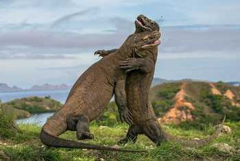 Komodo Dragon Indonesia Shutterstock 259025846
