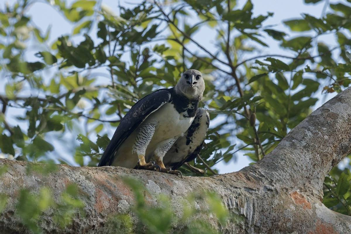 Harpy Eagle (Fernando Alba, Canopy Family)