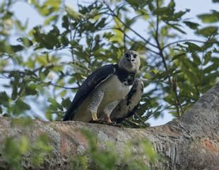 Panama - Harpy Eagle Special