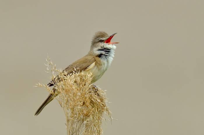 Great Reed Warbler. shutterstock.jpg