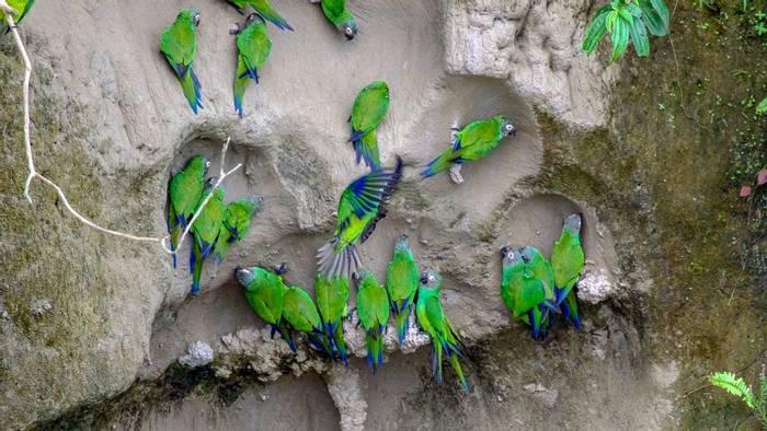 Dusky Headed Parakeets, Ecuador Shutterstock 1070607917
