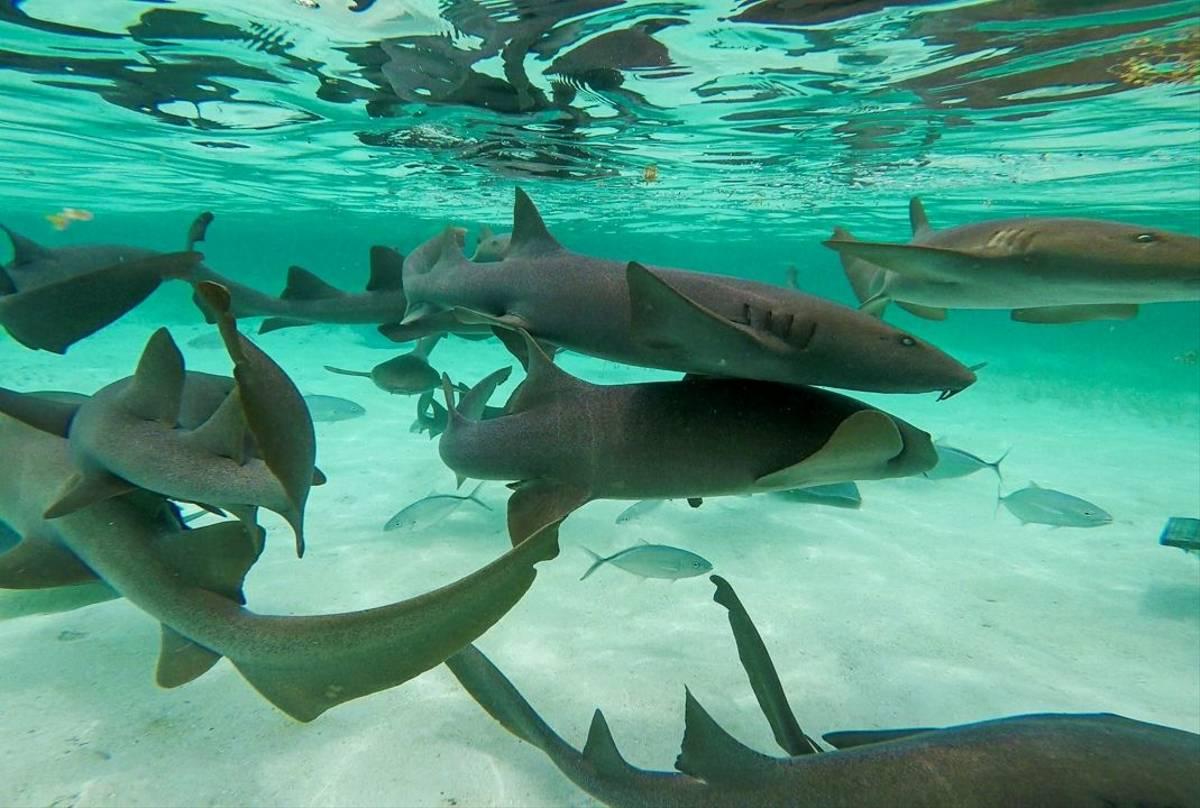 Nurse Sharks, Shark Ray Alley, Ambergris Caye, Belize shutterstock_1098661976.jpg