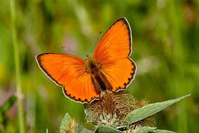 Scarce Copper (Dave Smallshire)