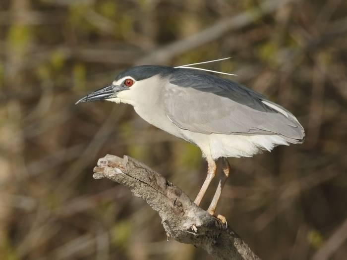 Black-Crowned Night Heron (Kevin Elsby)