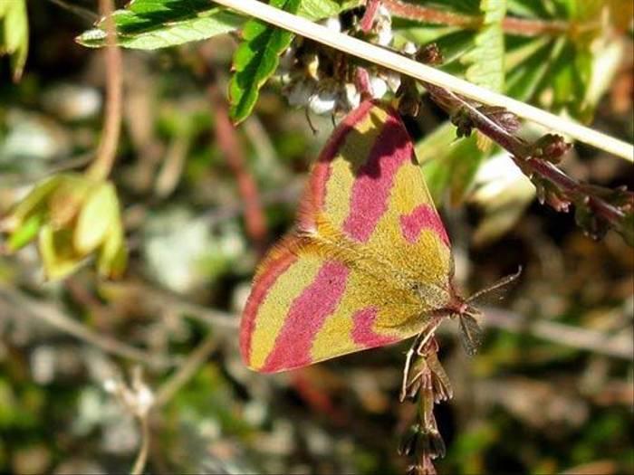 Small Purple-barred Moth (Daniel Green)