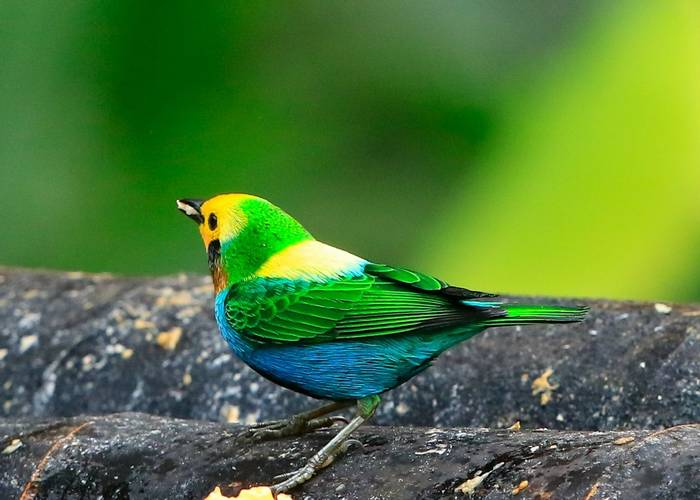Multi-colored Tanager  by Christine Miller