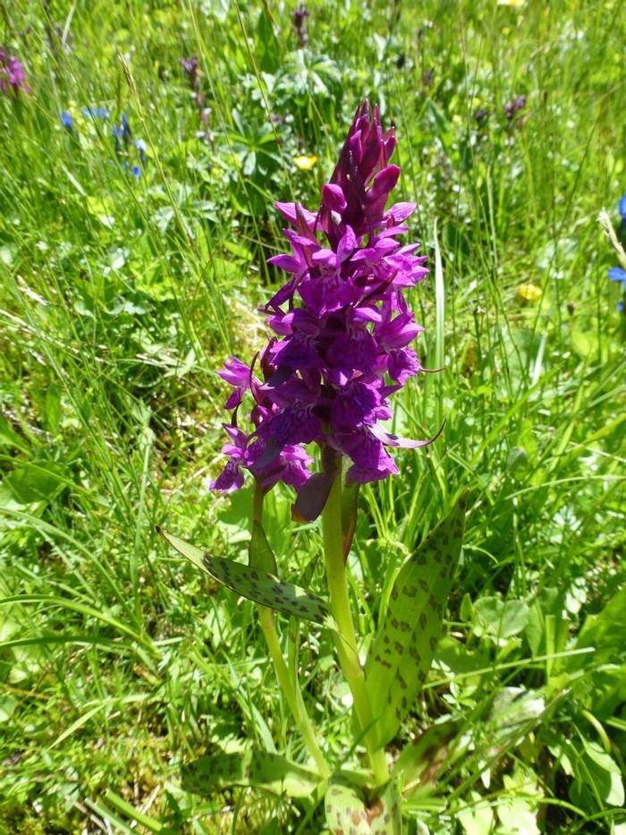 Orchis mascula (Early-purple Orchid) (Kerrie Porteous)