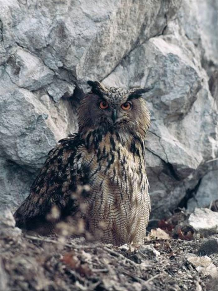 Eagle Owl (David Morris)