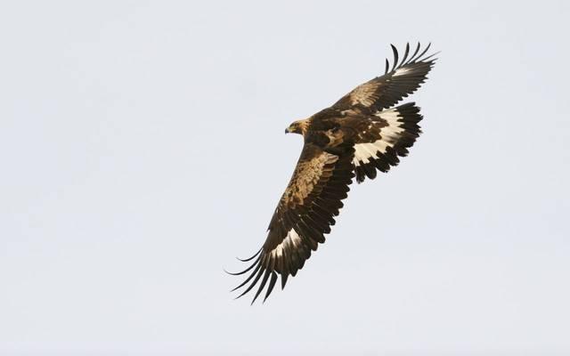 Golden Eagle shutterstock_208533943.jpg