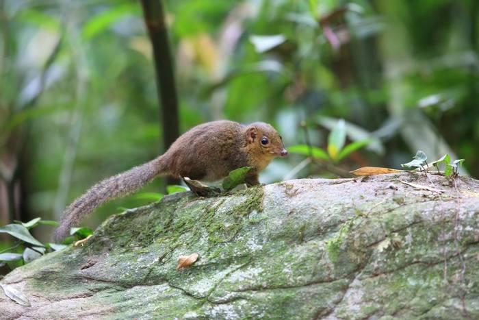 Northern Slender-tailed Treeshrew, Tam Dao, Vietnam shutterstock_587525237.jpg