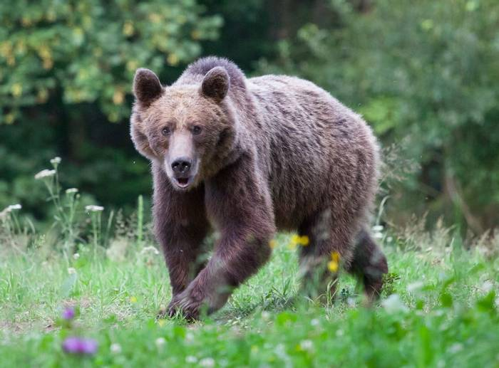 Brown Bear, Romania Shutterstock 1155029755