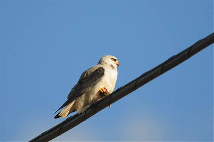 Black-shouldered Kite (David Morris)