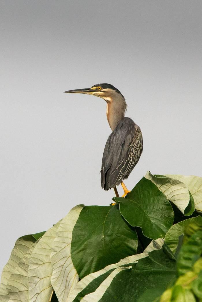 Green Heron, Panama-Mammals of the Canopy Tower 04JUL2016, Ian Talboys
