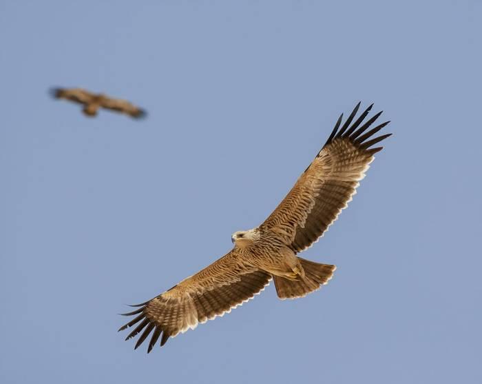 Eastern Imperial Eagle Shutterstock 263312507