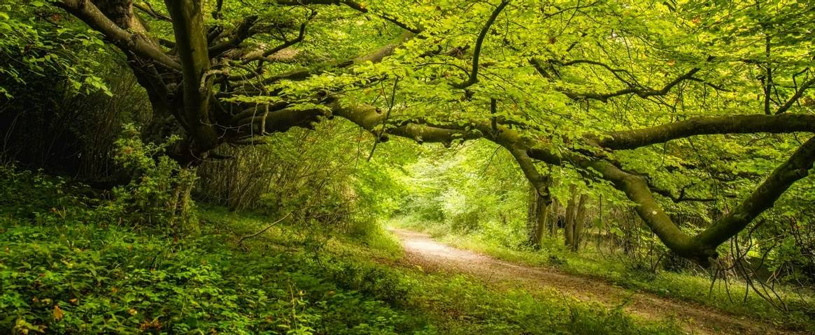Old Beech tree in woodland on Goodwood estate in England