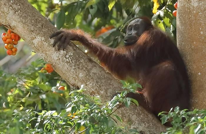 Orangutan (Andy Hawkins)
