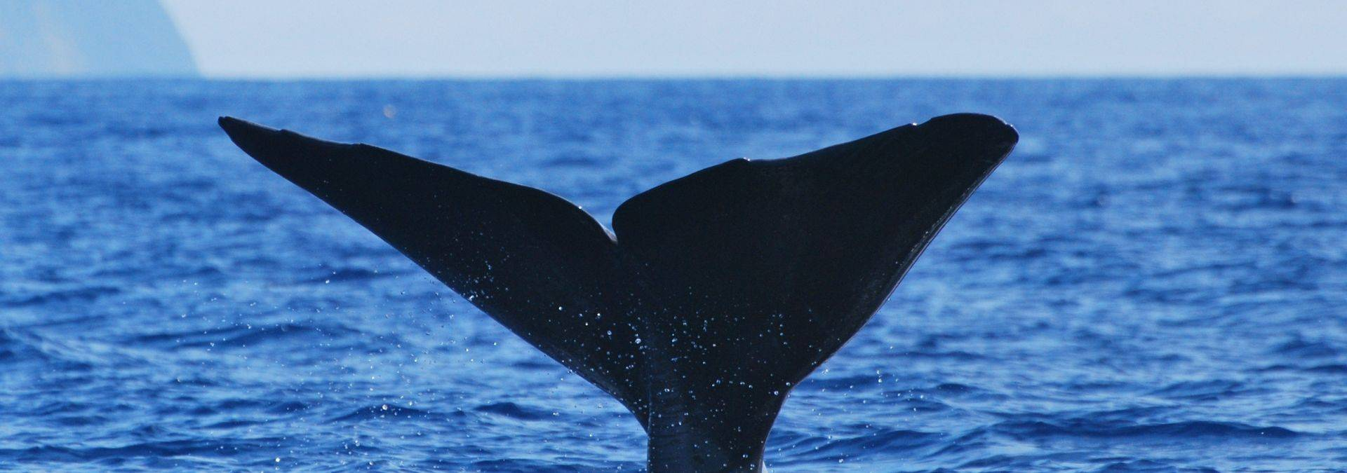 Whale watching 4, credit Futurismo Azores Adventures.JPG