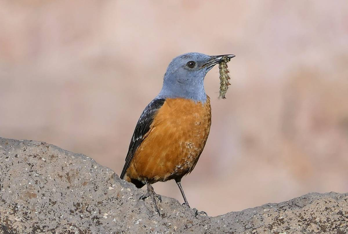 Rufous-tailed Rock Thrush by Clive Pickton
