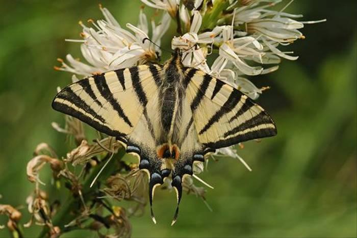 Scarce Swallowtail (David Morris)