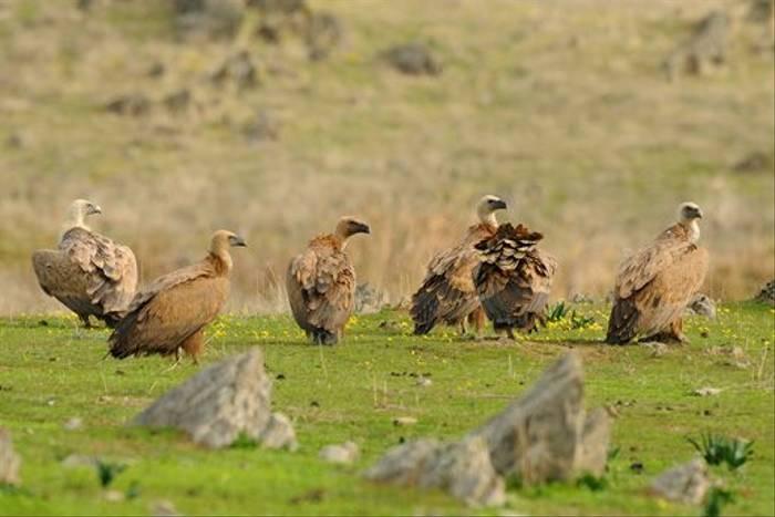 Griffon Vultures (David Morris)