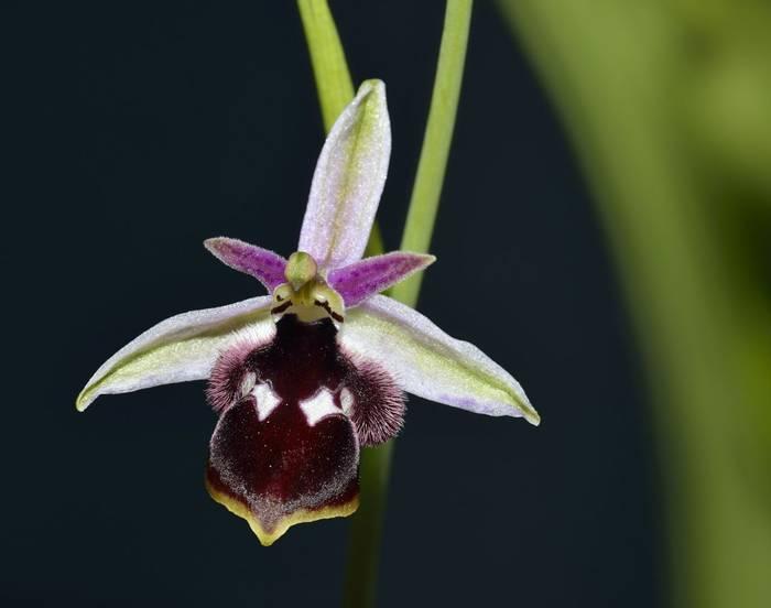 Reinhold's Bee Orchid, Greece shutterstock_272370788.jpg