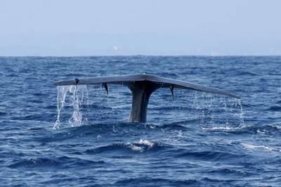 Blue Whale by Paul Cottis