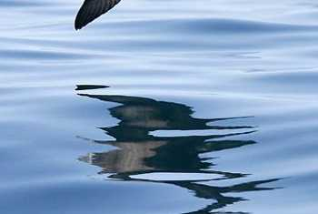 Sooty Shearwater (John Willsher)