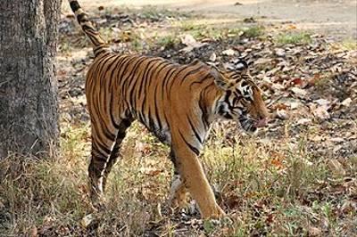 Bengal Tiger, Kanha by Dee Hughes