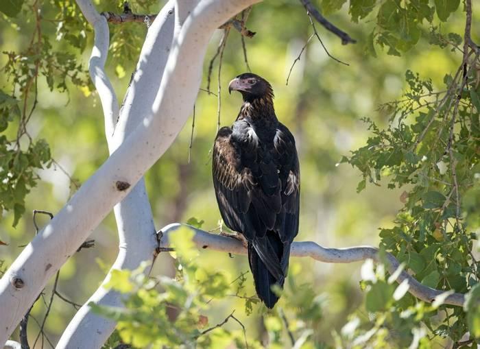 Wedge-tailed Eagle, Australia shutterstock_323177351.jpg