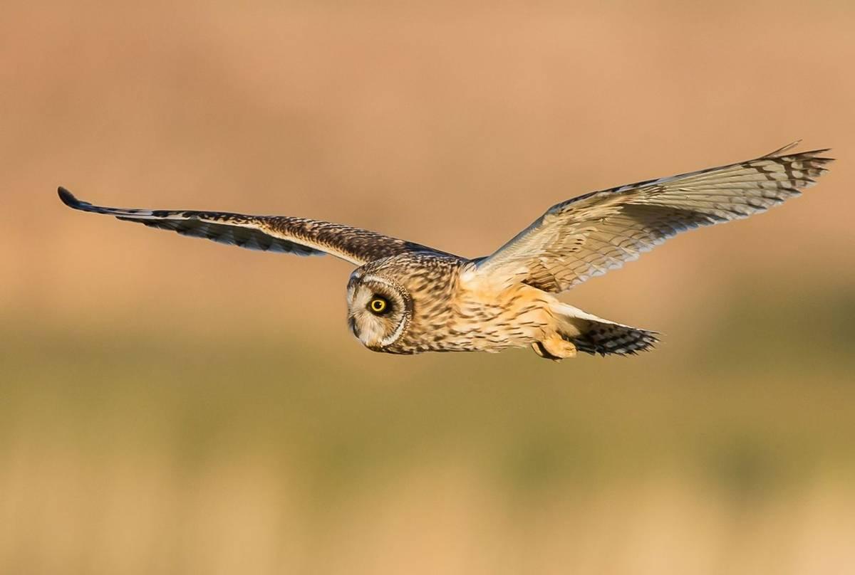 Short-eared-Owl-2-shutterstock_273170204.jpg
