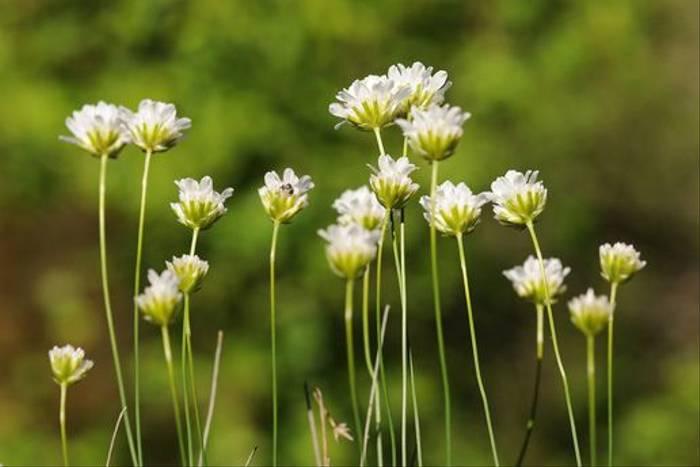 Thrift <i>Armeria leucocephala</i> (David Morris)