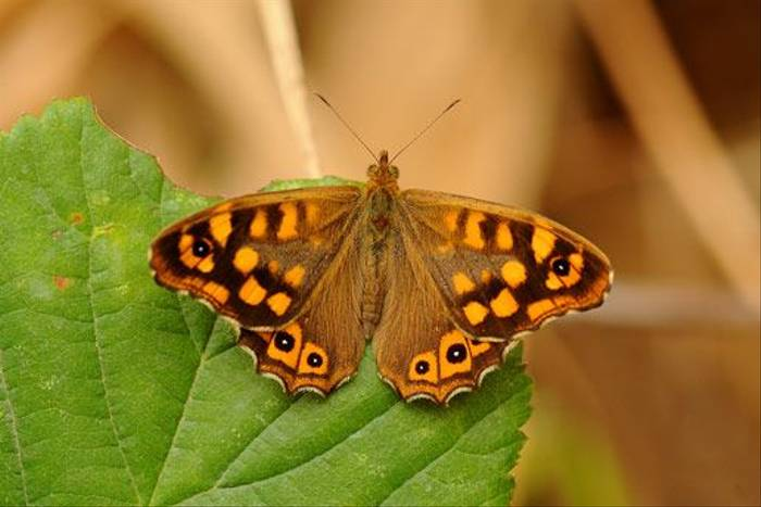 Speckled-Wood (David Morris)
