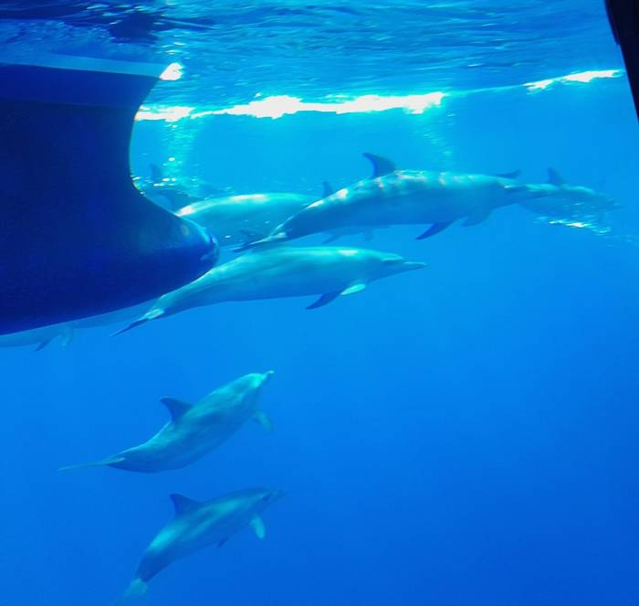 Atlantic Spotted Dolphin 2