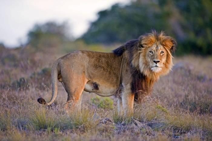 Lion, Kruger, South Africa Shutterstock 62636590