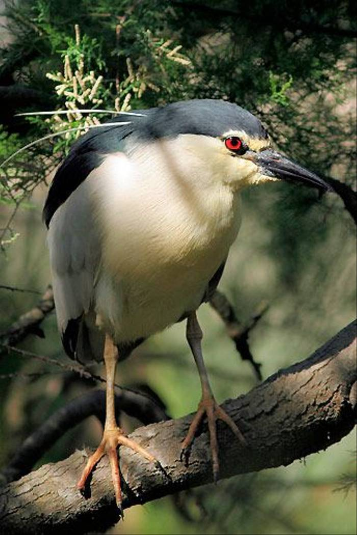 Black-crowned Night-heron (Peter Dunn)