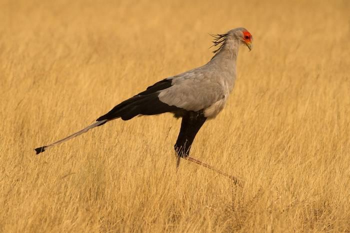 Secretary Bird (Sagittarius Serpentarius), Etosha © R Harvey