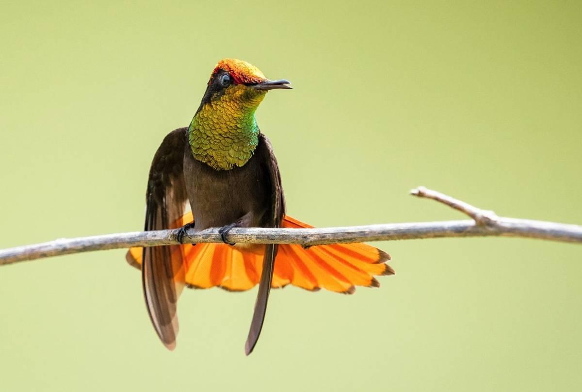 Colombia Ruby Topaz Hummingbird Shutterstock 1192629481