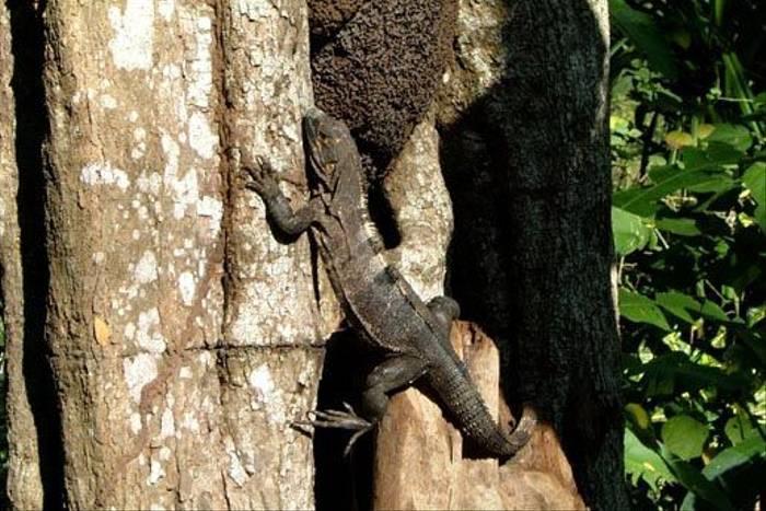 Black Spiny-tailed Iguana (Josh Joshi)
