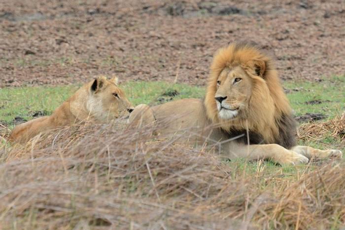 Lion (Rob Thatcher)