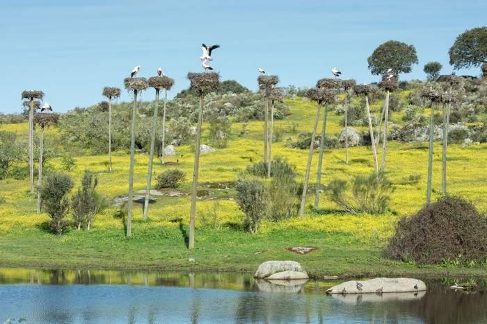 White Storks, Extremadura, Spain shutterstock_1239700909.jpg