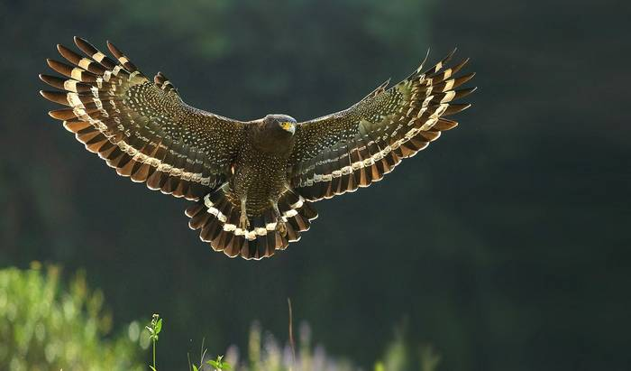 Crested Serpent-eagle, Cambodia shutterstock_539822212.jpg