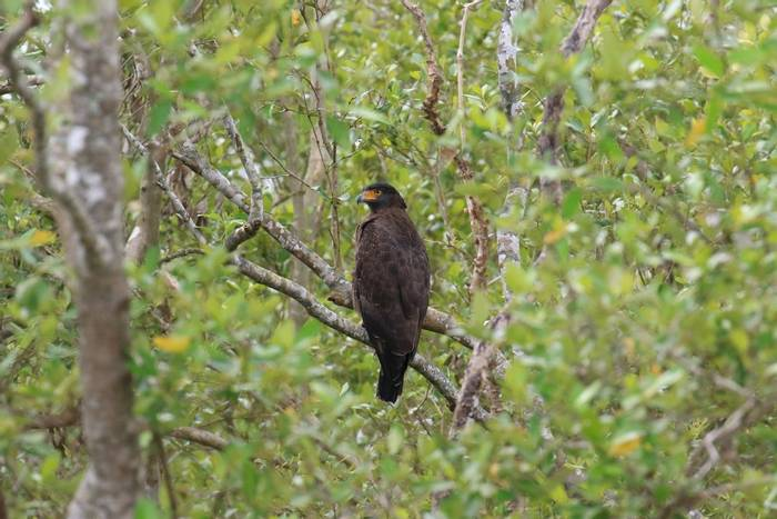 Crested Serpent-eagle (Sujan Chatterjee)