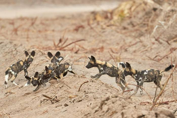 African Wild Dogs (Andrew Griffin)