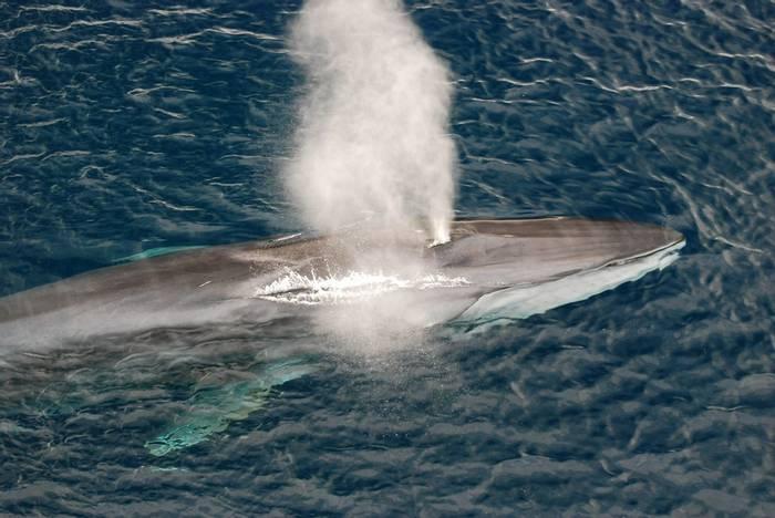 Fin Whale. shutterstock_92244052.jpg