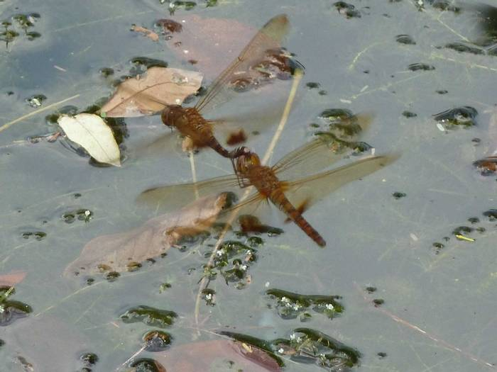 Amber Winged Marsh Glider,  Hydrobasileus croceus (Steve Dutmer)