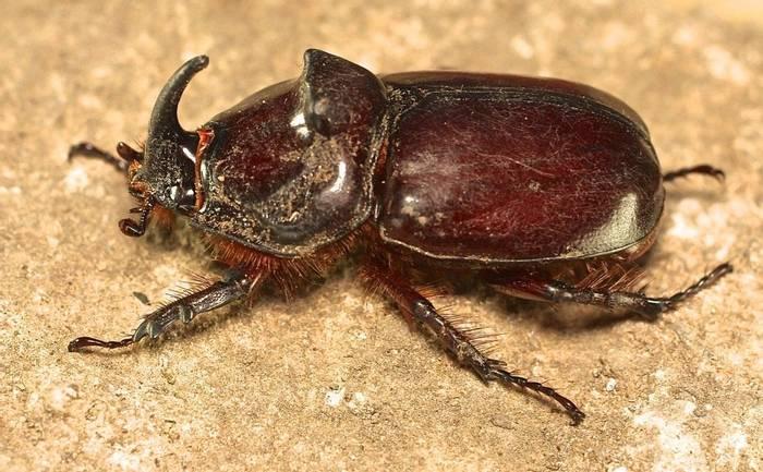 Oryctes nasicornis ssp kuntzeni - European Rhinoceros Beetle (Alan Outen)