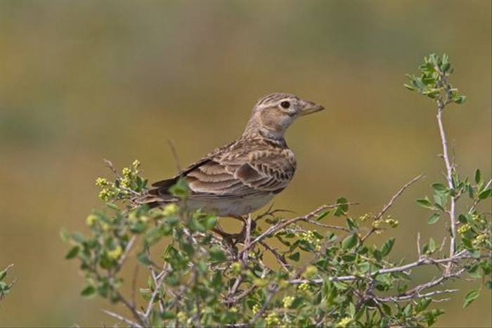 Calandra Lark (Alan Curry)
